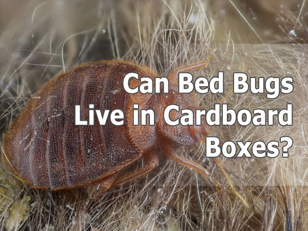bedbugs on cardboard